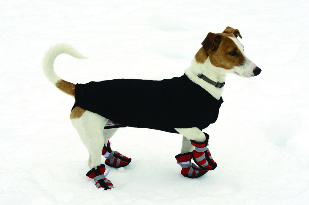 Dog-with-Winter-Booties_iStock