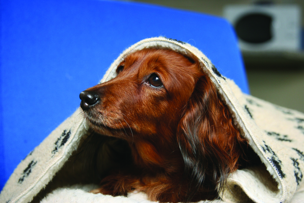 Centre manager Julie Stone's dachshund Fable, modelling for cover of the 2006 fireworks leaflet. PL/00183 - Lewknor - 3.8.06 - Photographer - Nick Ridley